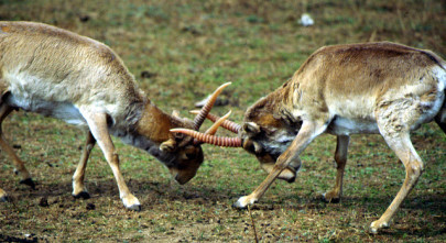 Why Did 150,000 Saiga Antelopes Die Within Just a Few Weeks?