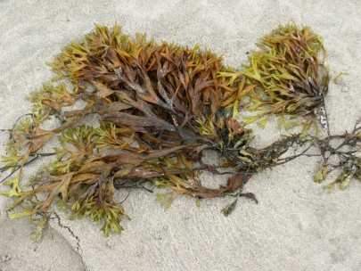 Is Seaweed the Key to Tackling Plastic Pollution?